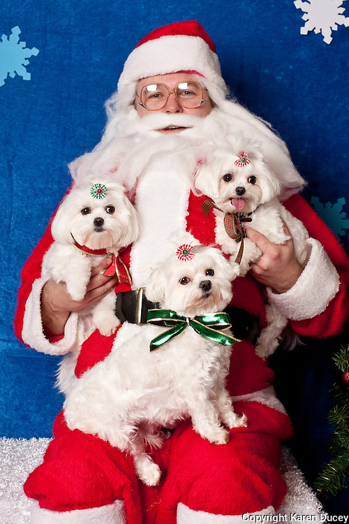 Maltese dogs, Princess, Precious, and Angie, pose for a holiday photo with Santa at Pet Pros in Redmond, WA to help raise money for Dogs Deserve Better on December 11, 2010. (photo by Karen Ducey)