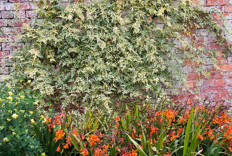 Crocosmia summer flowering bulb and variegated vine on brick wall