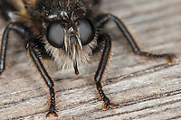 Gelbe Raubfliege, Gelbe Mordfliege, Weibchen, Portrait, Porträt, Laphria flava, Bee like Robber-fly, Bee-like Robber-fly, Bee like Robberfly, Raubfliegen, Asilidae, robberfly, robberflies, robber-fly, robber-flies