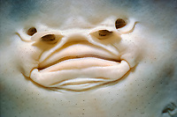 Mouth and nostrils of, Platyrhinoidis triseriata, Channel Islands, California, USA, - Pacific Ocean