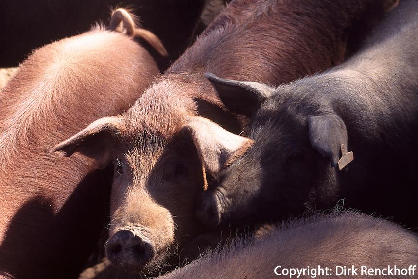 Spanien, Andalusien, Schweinezucht fuer Schinken (jamon serrano) in Jabugo