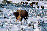 Portrait of a bison and calf in Yellowstone National Park, Wyoming.