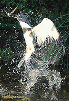 KG03-049x  Belted Kingfisher - male diving for fish in stream, caught fish, flying out - Megaceryle alcyon