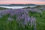 Redwoods National Park, California:<br /> Riverbank lupine (lupinus rivularis)   on the Bald Hills fog settled in the lower valley - dawn
