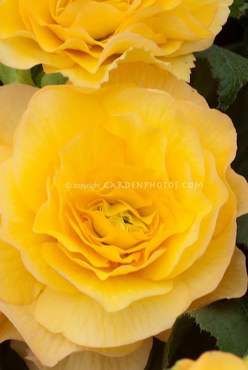 Begonia 'Nell Gwynne' tuberous (pale orange)