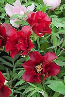 Paeonia Black Pirate (s) & P. suffruticosa Yachiyo-Tsubaki peonies mixed red and pink peony in flower