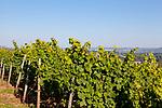 Europa, DEU, Deutschland, Rheinland-Pfalz, Mittelrheintal, Ruedesheim am Rhein, Weinberg, Weinbau, Weinanbau, Rebbau, Natur, Umwelt, Landschaft, Landschaftsfotos, Landschaftsfotografie, Landschaftsfoto, Tourismus, Touristik, Touristisch, Touristisches, Urlaub, Reisen, Reisen, Ferien, Urlaubsreise, Freizeit, Reise, Reiseziele, Ferienziele, Ruedesheim am Rhein ist eine Weinstadt im hessischen Rheingau-Taunus-Kreis und liegt mit dem gegenueberliegenden Bingen am suedlichen Tor zum Mittelrheintal. Ruedesheim gehoert mit zum UNESCO-Welterbe Oberes Mittelrheintal.<br /> <br /> [Fuer die Nutzung gelten die jeweils gueltigen Allgemeinen Liefer-und Geschaeftsbedingungen. Nutzung nur gegen Verwendungsmeldung und Nachweis. Download der AGB unter http://www.image-box.com oder werden auf Anfrage zugesendet. Freigabe ist vorher erforderlich. Jede Nutzung des Fotos ist honorarpflichtig gemaess derzeit gueltiger MFM Liste - Kontakt, Uwe Schmid-Fotografie, Duisburg, Tel. (+49).2065.677997, ..archiv@image-box.com, www.image-box.com]