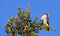 Red-tailed hawks are among the more common raptors in Yellowstone.
