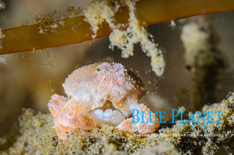 Pearl granular purse crab, Heteronucia perlata, with eggs, Lembeh Strait, North Sulawesi, Indonesia, Pacific