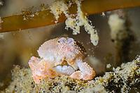 Pearl granular purse crab, Heteronucia perlata, with eggs, Lembeh Strait, North Sulawesi, Indonesia, Pacific