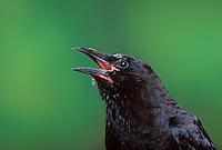 Common Crow/American Crow. Spring. British Columbia, Canada. (Corvus brachyrhynchos). Pet crow..