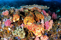 Slipper lobster, Scyllarides squamosus, Chichi-jima, Bonin Islands, Ogasawara, Tokyo, Japan, Pacific Ocean