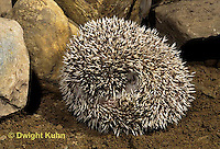 MA42-022z   African Pygmy Hedgehog - rolled in ball for protection - Atelerix albiventris