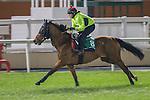 MEYDAN,DUBAI-MARCH 24: Sheikhzayedroad,trained by David Simcock,exercises in preparation for the Dubai Sheema Classic at Meydan Racecourse on March 24,2016 in Meydan,Dubai (Photo by Kaz Ishida)