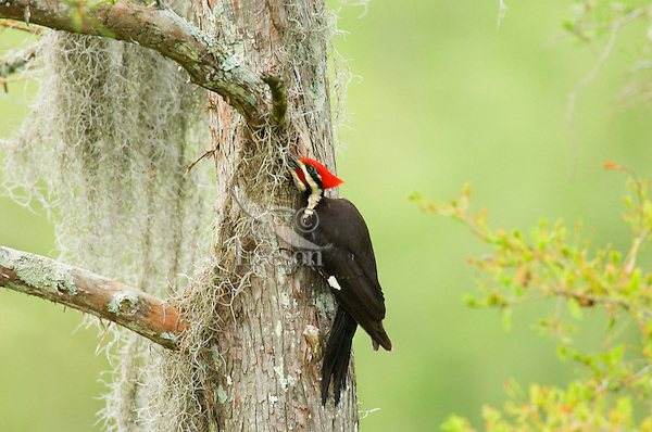 Pileated Woodpecker (Dryocopus pileatus) on baldcypress tree in southern swamp.
