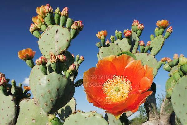 Texas Prickly Pear Cactus (Opuntia lindheimeri), blooming, Laredo, Webb County, South Texas, USA