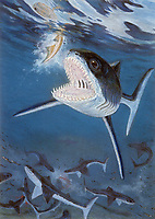 illustration, Cladoselache, this is one meter long shark lived 375 MYA during the Late Devonian of North America, it probably ate small ray finned fish, prehistoric shark