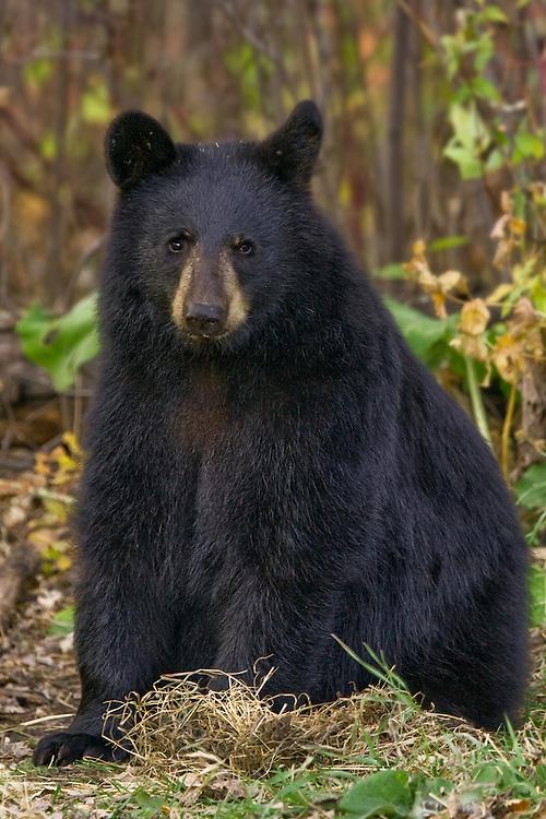 Black Bear cub sitting amongst some fall foliage