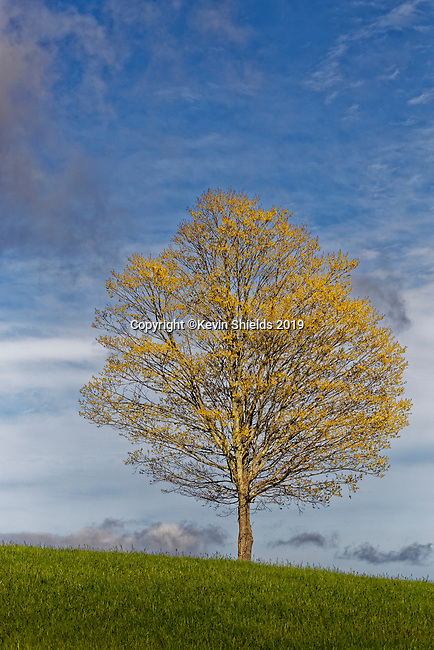 Tree in the Spring, Hope, Maine, USA