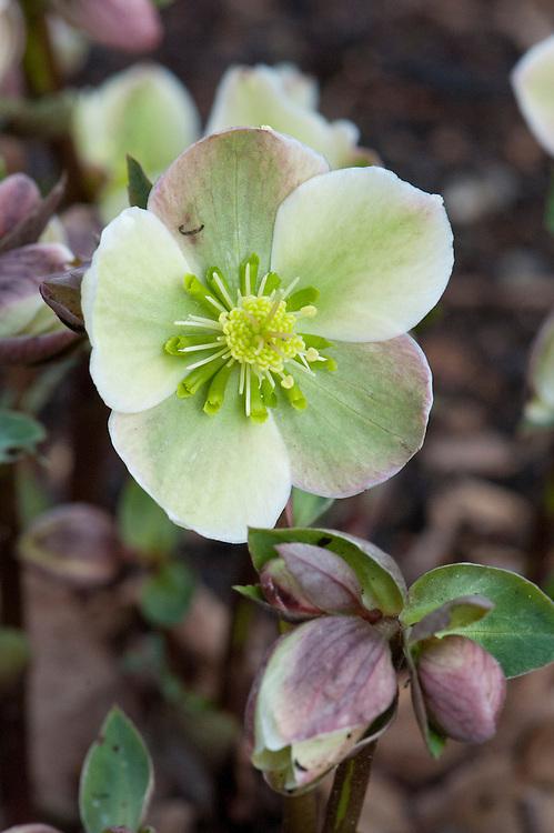 Helleborus x ericsmithii, late February.