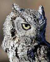 Screech Owl close-up