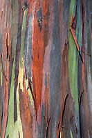 A close-up of the colorful bark covering a rainbow eucalyptus tree at Dole Plantation Center, Wahiawa, O'ahu.