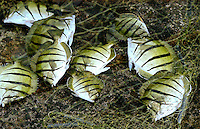 """A catch of black-striped Hawaiian manini fish (or convict tang, or acanthuridae) on a local fisherman's net, Big Island; manini fish have razor-sharp spines near their tails, which is why they are often called """"surgeonfish."""""""