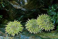 EC08-007d  Green Sea Urchins  Strongylocentrotus droebachiensis