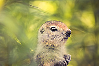 Arctic ground squirrel, Uroticellus parryii, pup, Yukon Territory, Canada, North America