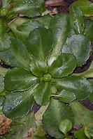 Gänseblümchen, Blattrosette, Maßliebchen, Bellis perennis, English Daisy, Pâquerette