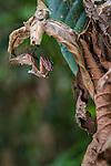 Giant Deaf-Leaf Mantis (Deroplatys desiccata) on dry leaf in the rain forest understorey. Near Ginseng Camp in the heart of Maliau Basin - Sabah's 'Lost World'. Maliau Basin, Borneo.