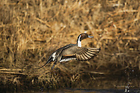 Northern Pintail (Anas acuta), male taking off, Bosque del Apache National Wildlife Refuge , New Mexico, USA,
