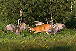 Young white-tailed buck and family of sandhill cranes