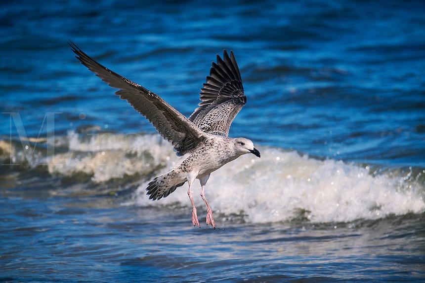 Plover running along the beach.