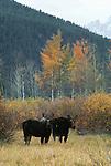 Moose, Grand Teton National Park, Wyoming