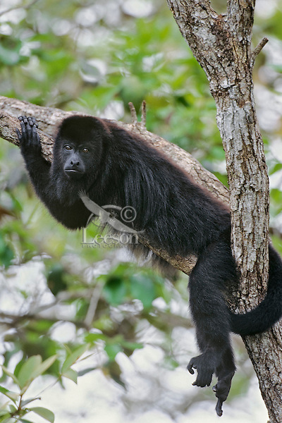 Black Howler Monkey or Guatemalan Hower Monkey (Alouatta pigra), Belize.
