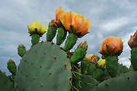 Texas Prickly Pear Cactus (Opuntia engelmanni), plant blooming, Laredo, Webb County, South Texas, USA