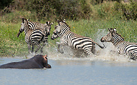 A Hippopotamus, Hippopotamus amphibius, emerges from a pond in Tarangire National Park, Tanzania, frightening a group of Grant's Zebras, Equus quagga boehmi.