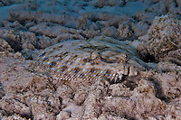 17 August 2005: A Peacock Flounder (Bothus lunatus) lies camouflaged on the coral and sandy bottom of the reef at Captain Don's Reef, on the Dutch island of Bonaire, in the Netherland Antilles. Used Aquatica D100 housing, flat port with single Ikelite 225 strobe 1/4 power manual setting...Mandatory Photo Credit: Ed Wolfstein Photo