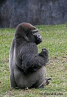 0210-08ww  Western Lowland Gorilla, Gorilla gorilla gorilla © David Kuhn/Dwight Kuhn Photography
