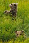 Brown bear cubs, Lake Clark National Park, Alaska, USA<br /> <br /> RF licensing: https://www.gettyimages.com/detail/photo/brown-bear-cubs-lake-clark-national-park-alaska-usa-royalty-free-image/160869550
