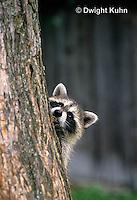 MA25-276z   Raccoon - young raccoon climbing tree - Procyon lotor