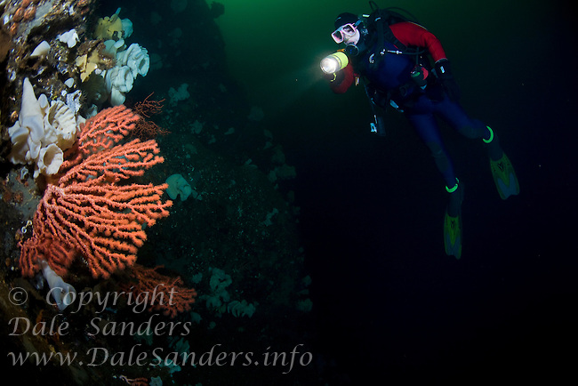 Diver and Gorgonian Coral (Paragorgia Pacifica) deep underwater in Agamemnon Channel on the Sunshine Coast of British Columbia, Canada.