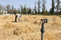 EGYPT, Bilbeis, Sekem organic farm, desert farming, manual harvest of wheat / AEGYPTEN, Bilbeis, Sekem Biofarm, Landwirtschaft in der Wueste, Ernte von Weizen