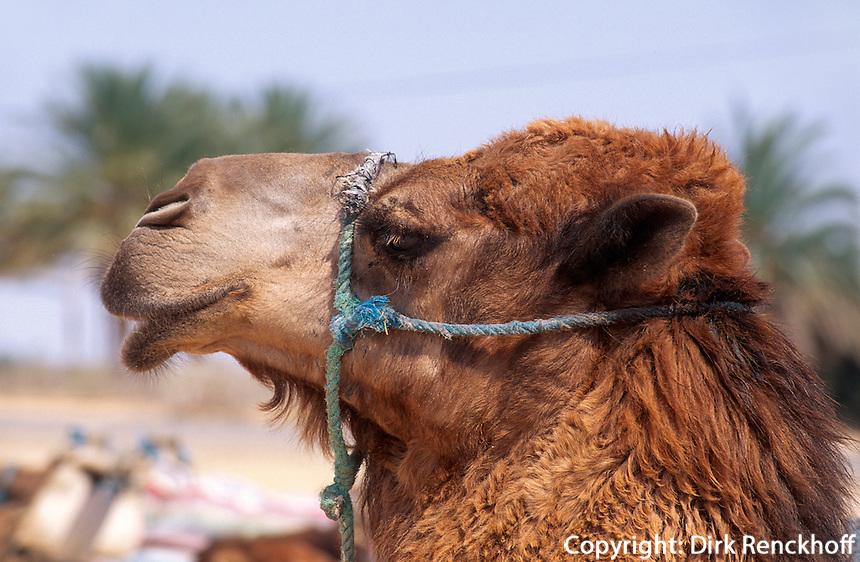 Kamele bei Douz, Tunesien