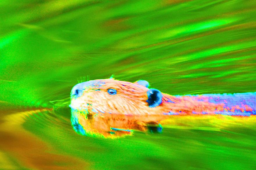 After getting loose with the saturation slider, this image of a beaver swimming really pops !