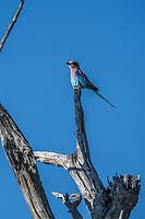 Africa, Botswana, Okavango Delta, Khwai private reserve. Lilac-breasted roller.