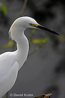 0201-08rr  Snowy Egret, Egretta thula © David Kuhn/Dwight Kuhn Photography
