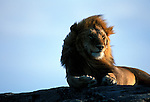 Lions (Panthera leo) Serengeti National Park - Tanzania