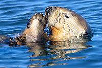 A sea otter (Enhydra lutris nereis) is eating mussels at Moss Landing @ Moss Landing in the Monterey Bay National Marine Sanctuary.